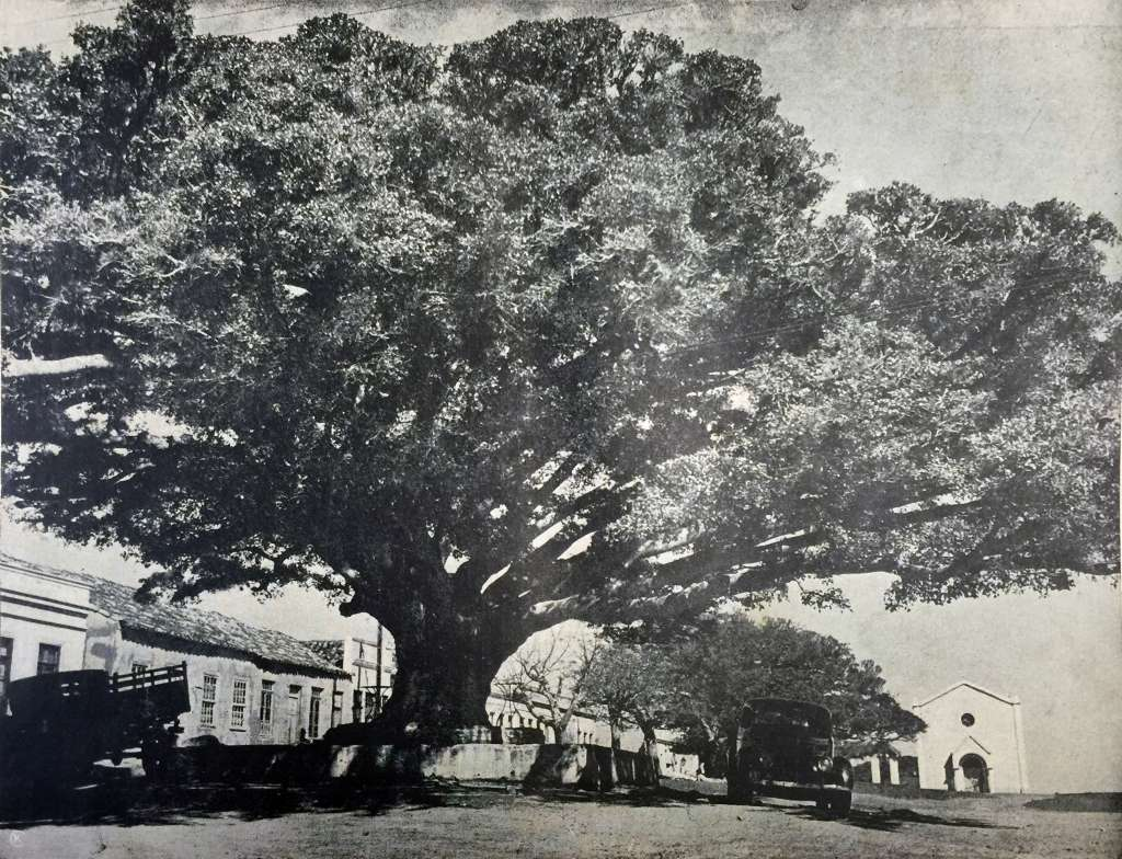 porto-alegre-figueira-na-praca-de-belem-novo-dec1930