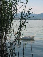 Caldonazzo Cigno sul lago di Caldonazzo 1